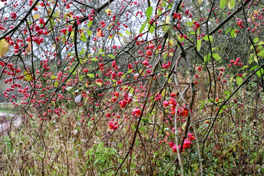 Bright red berries with rain dripping off them